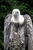 Ruppell's Griffin Vulture_004