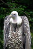 Ruppell's Griffin Vulture_005