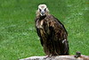 lappet-faced vulture_001