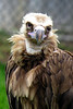 lappet-faced vulture_007
