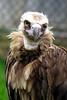 lappet-faced vulture_007
