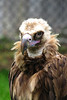 lappet-faced vulture_004