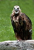 lappet-faced vulture_002