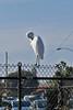 street egret_001