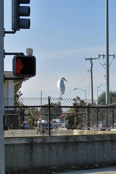 street egret_005