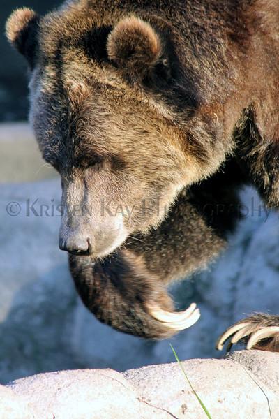 Brown Bear zoo 8-12_015ms