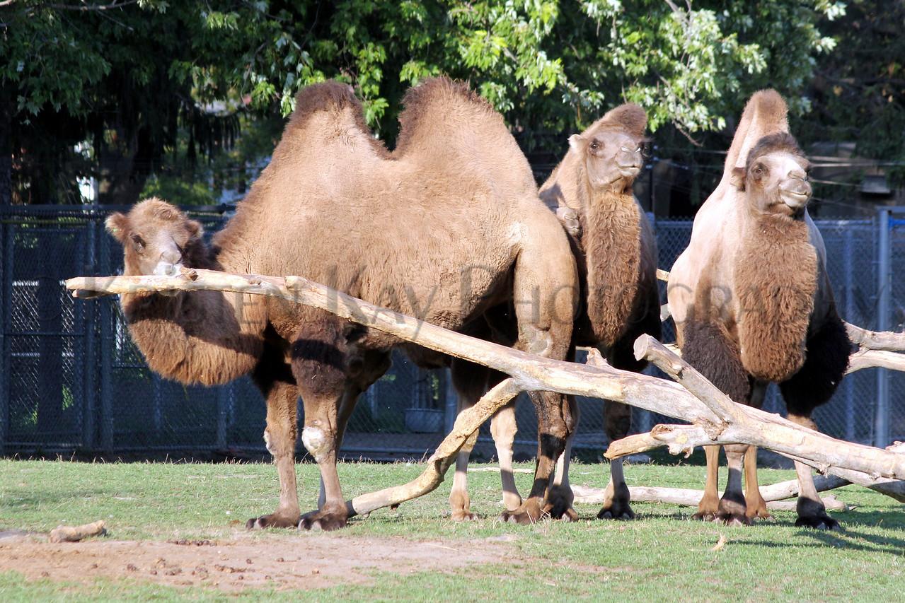 camel zoo 8-12_002