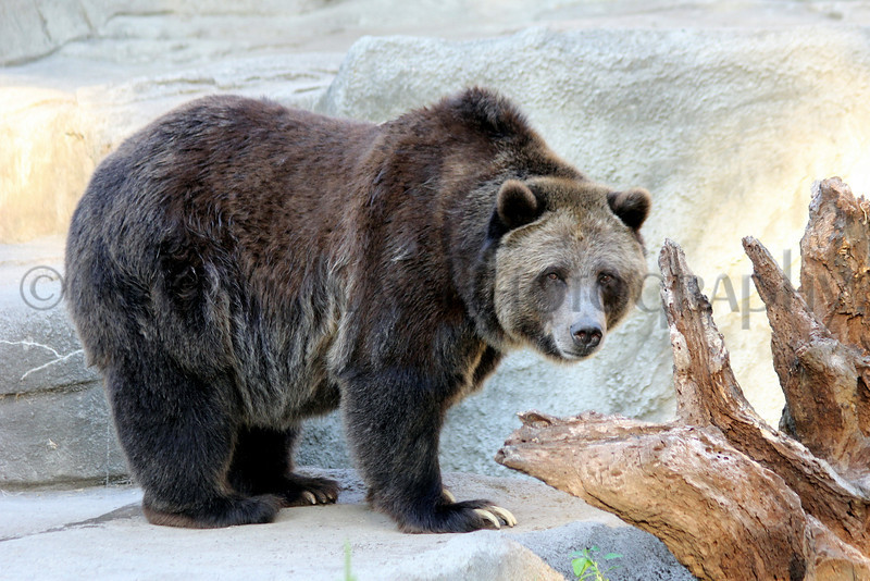Brown Bear zoo 8-12_011ms