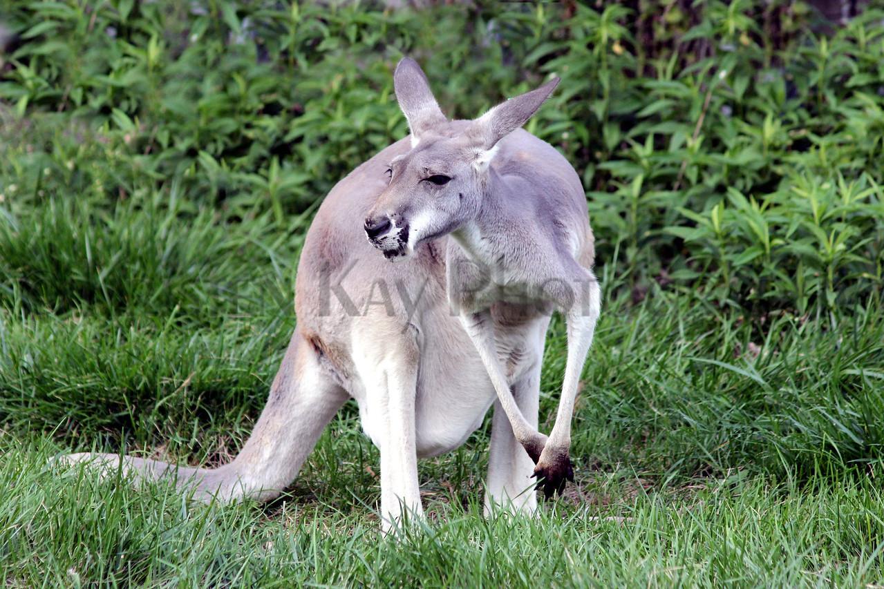 Kangaroo zoo 8-12_007ms