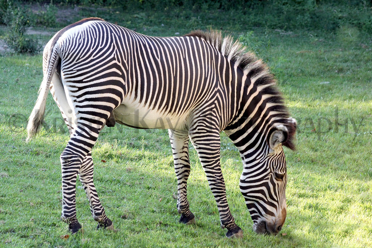 zebra zoo 8-12_008ms