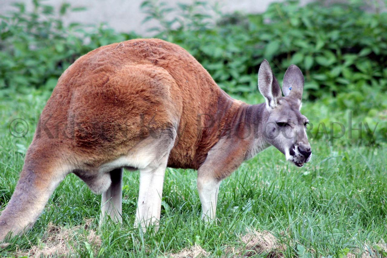 Kangaroo zoo 8-12_010ms