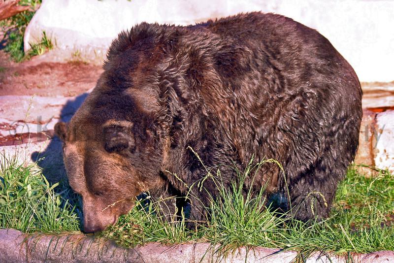 Brown Bear zoo 8-12_007msHS