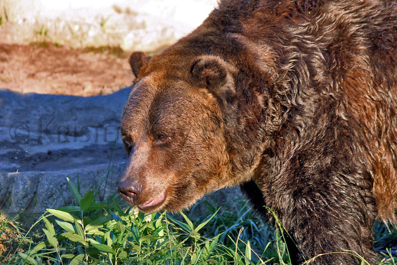 Brown Bear zoo 8-12_009msHS