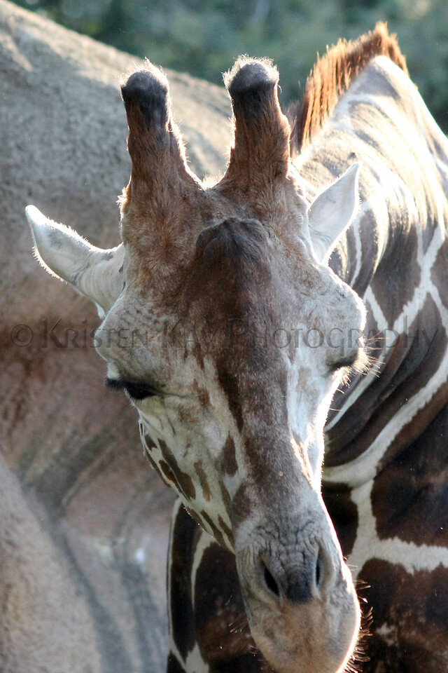 Giraffe zoo 8-12_005zms