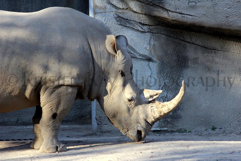 white rhino zoo 8-12_002ms