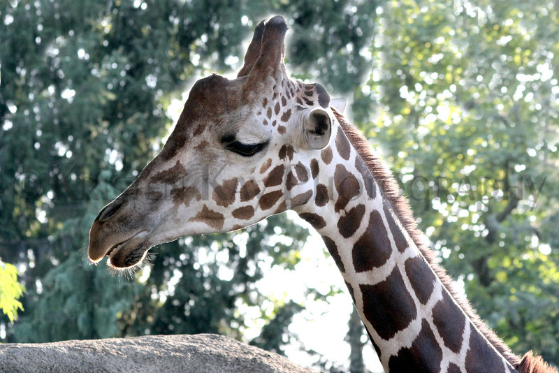 Giraffe zoo 8-12_003ms