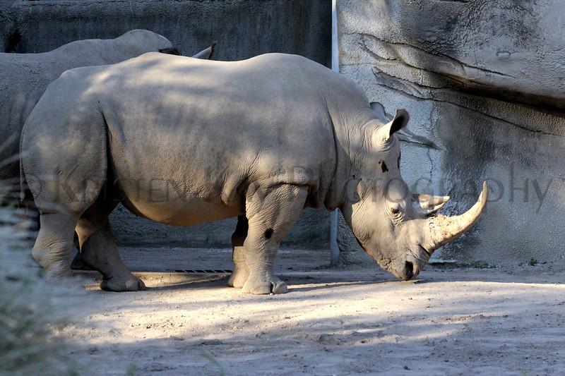 white rhino zoo 8-12_001ms