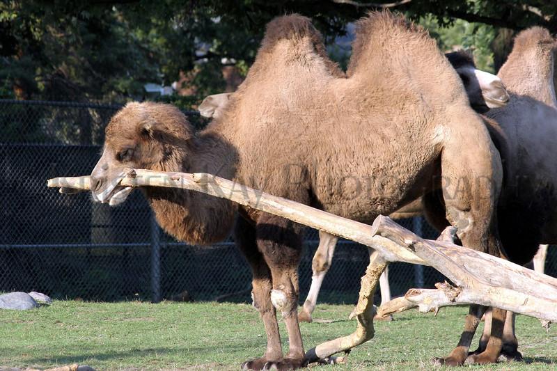 camel zoo 8-12_001