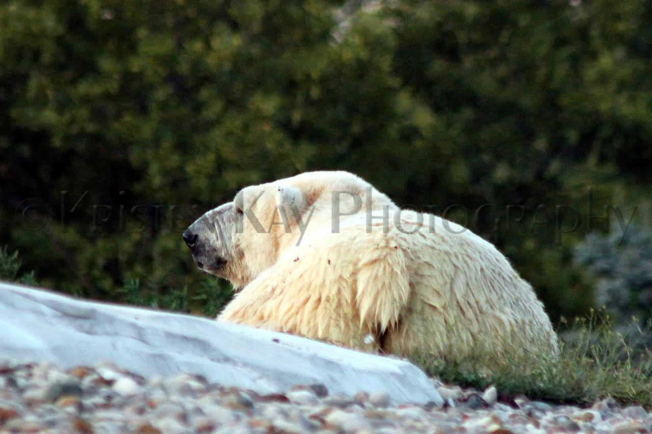 Polar bear 8-12_001ms