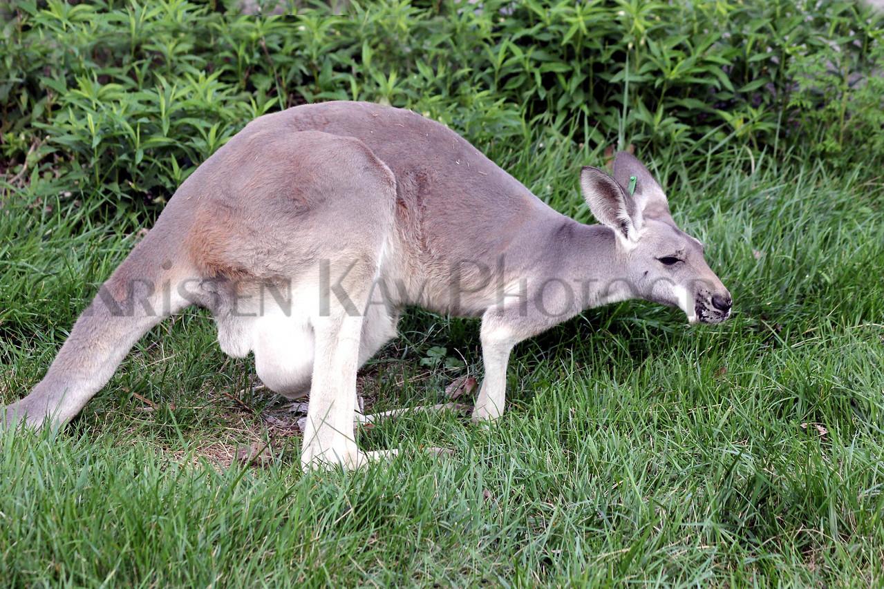 Kangaroo zoo 8-12_004ms