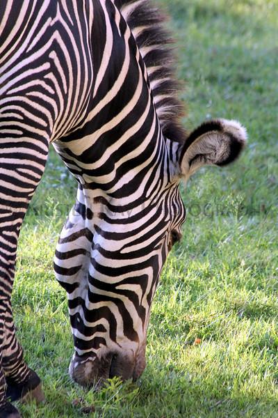 zebra zoo 8-12_010ms