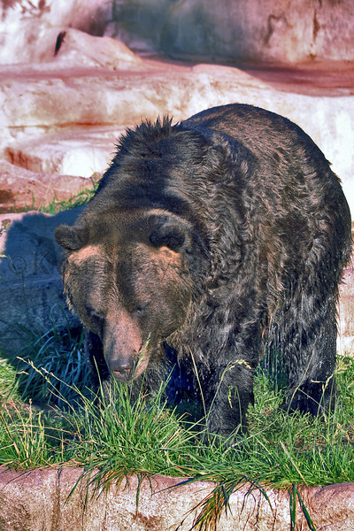 Brown Bear zoo 8-12_005msHS