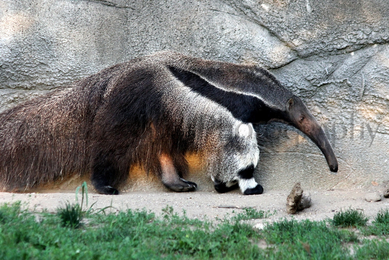 anteater zoo 8-12_006