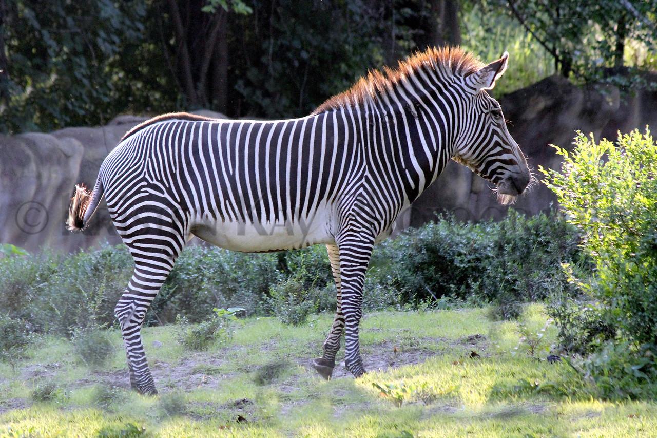 zebra zoo 8-12_005mss