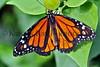 Monarch Butterfly_005hsl