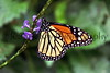 Monarch Butterfly_004hsl