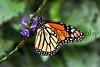 Monarch Butterfly_004hsl