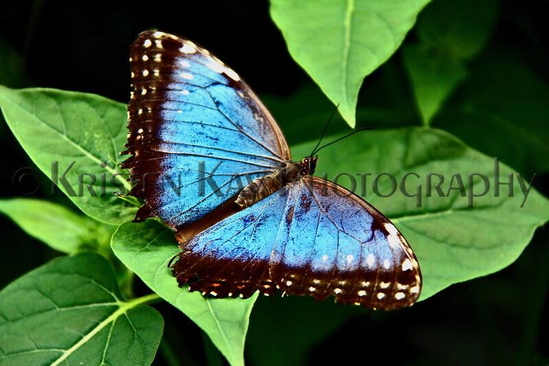 Blue Morpho Open Buterfly_002HSLL