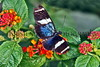 Sara Longwing Butterfly_002hsl
