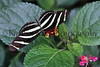 Common Serengeti Butterfly_001hsl
