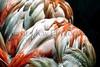 flamingo feathers_013z