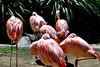 flamingo flock_015
