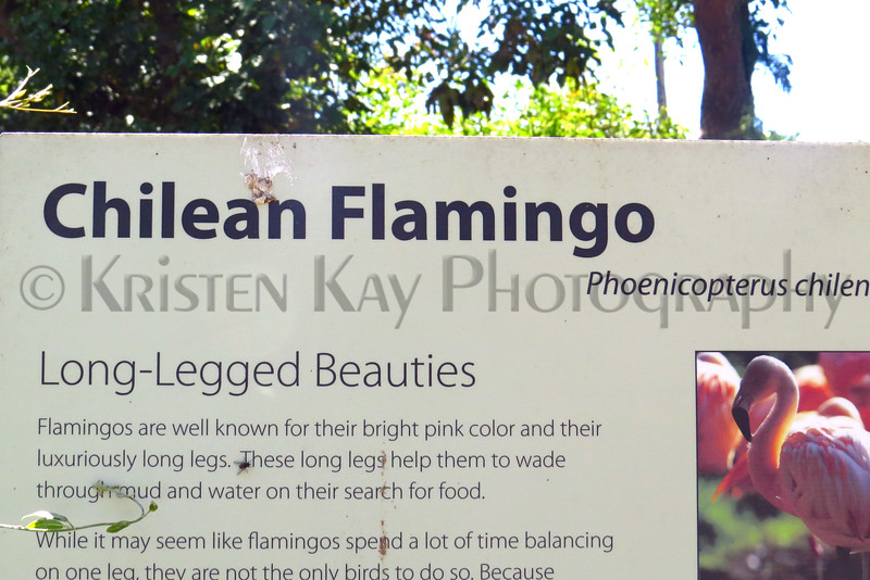 Chilean Flamingo info