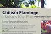 Chilean Flamingo info