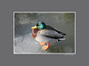duckice_005gray