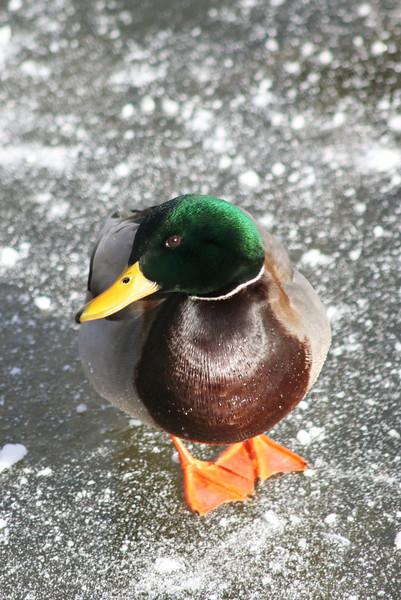 duckice_001