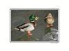 duckice_003wht