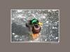 duckice_002gray