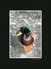 duckice_001blk