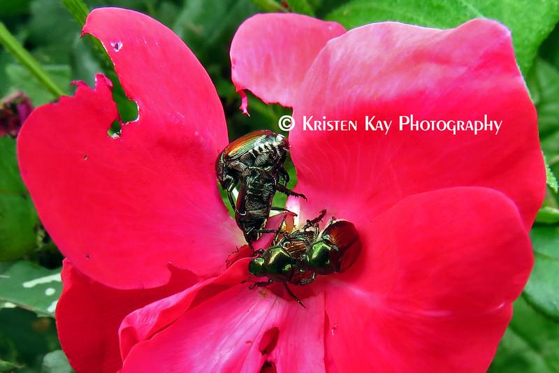 beetles red flower_042