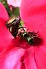 beetles red flower_044