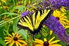 Eastern Tiger Swallowtail_056ph