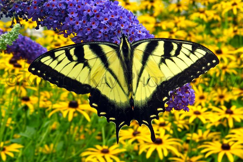 Eastern Tiger Swallowtail_043ph