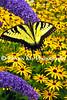Eastern Tiger Swallowtail_042ph