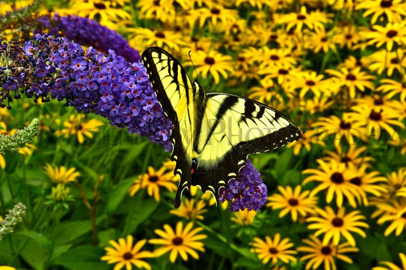 Eastern Tiger Swallowtail_044ph