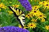 Eastern Tiger Swallowtail_050ph